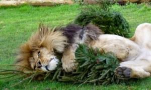 Lion xmas tree