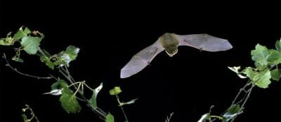 Greengage Environmental services and planning London horseshoe bat monitoring